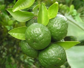 Limo For Sale >> Jeruk Limau / Limo (Lime aka Jeruk Sambal or Jeruk Sate) Citrus Amblycarpa (includes 4 Fresh limes)